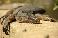 Lézard monitor